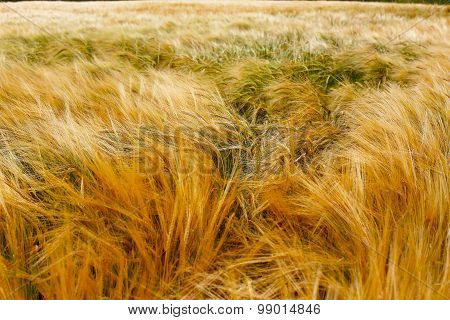 Soft Warm Barley Crop Plant Texture
