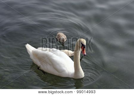 Swan with offspring