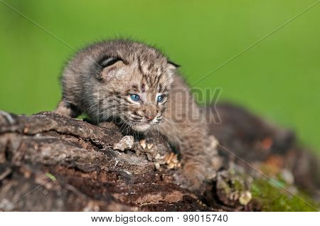 Baby Bobcat Kit (lynx Rufus) Stares From Log