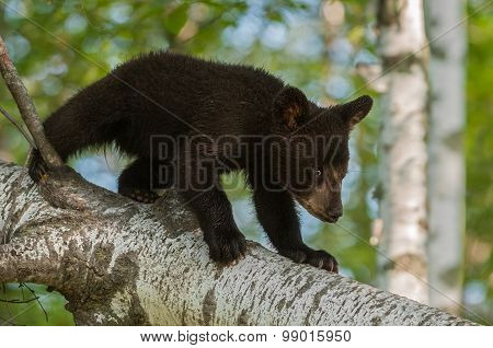 Young Black Bear (ursus Americanus) Walks Down Branch