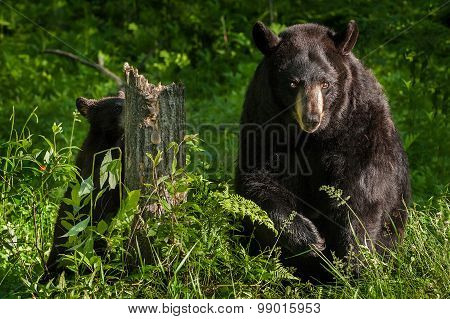 Mother Black Bear (ursus Americanus) And Cub Forage In Stump