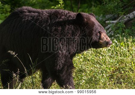 Adult Female Black Bear (ursus Americanus) Looks Right