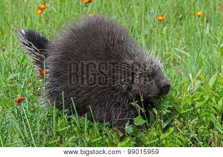 Porcupine (erethizon Dorsatum) Walks Right