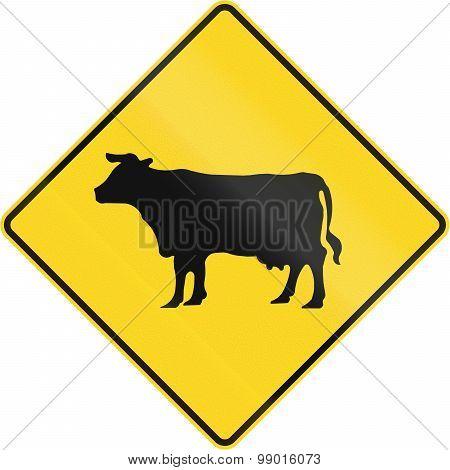 Cattle Crossing In Canada