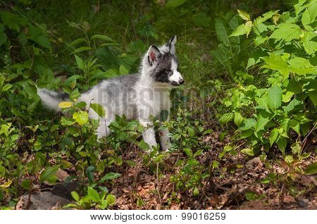 Young Marble Fox (vulpes Vulpes) Stands In Greenery