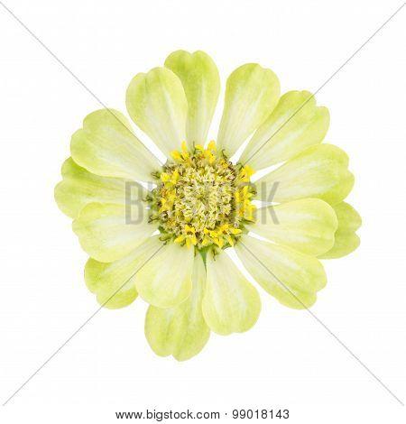 Bright Yellow Zinnia