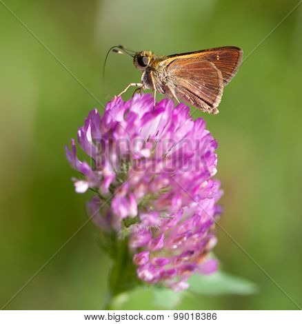 Little Glassywing Skipper