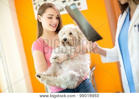 X ray examination of sick Maltese dog in vet clinic