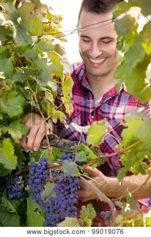 Smiling vintner harvesting a bunch of grapes in vineyard