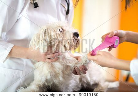 Close up view of bandaging hurt paw of Maltese dog in vet clinic
