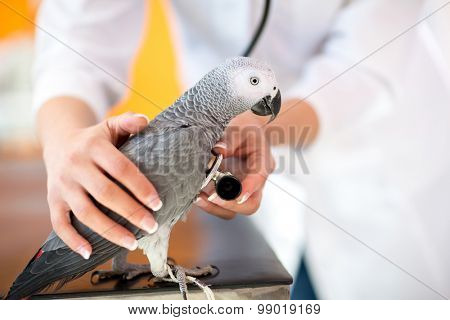 Veterinarian examining sick African grey parrot with stethoscope at vet clinic
