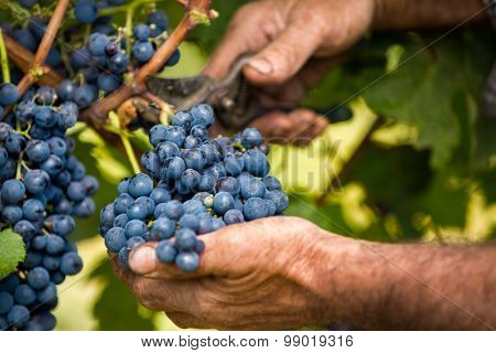 Close up of farmer male hands picking grape