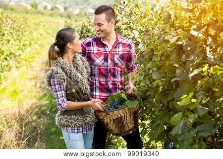 couple in love in vineyard together harvested grapes