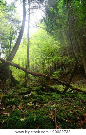 Wild Forest With Fallen Tree