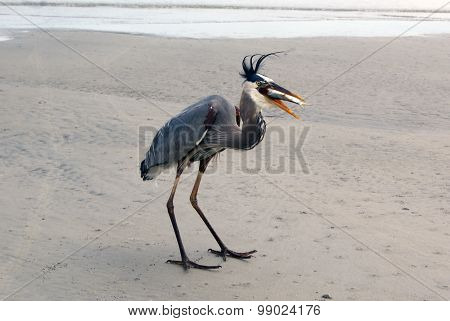 Great Blue Heron Eating a Fish on the Beach