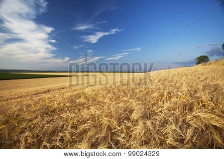 Golden wheat field and blue sky in the sunset