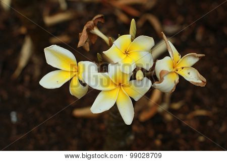 white tropical flower with yellow center