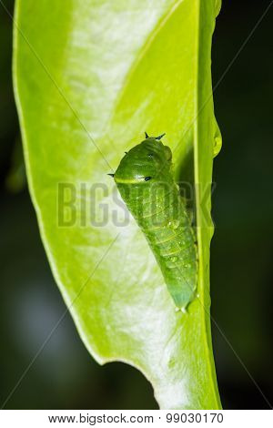 Common Bluebottle Caterpillar