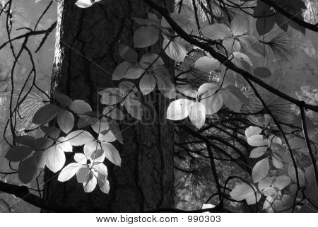 Black And White Image Of Sun Streaming Through Forest Lighting L