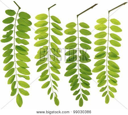Collected Leguminosae Twig Leaves Macro Isolated On White Background