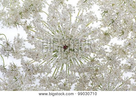 Wild Carrot Flower On White Background