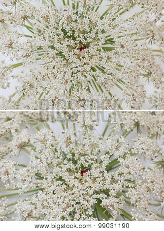 Wild Carrot Flower On White Background