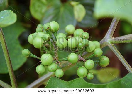 Turkey Berry