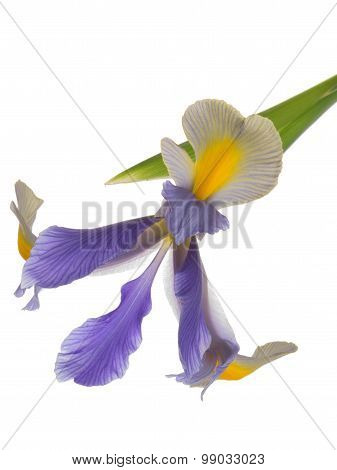 Bright Beautiful Iris