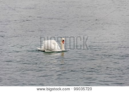 Swan On Water Surface