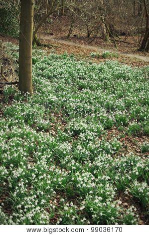Snowdrop Field Blooming