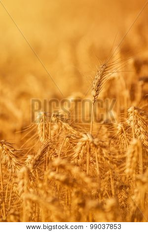 Wheat Crops In Agricultural Field