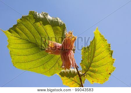Hazelnut Branch Against Blue Sky