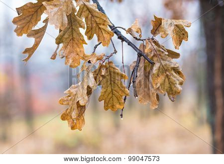 Falling autumn birch leaves