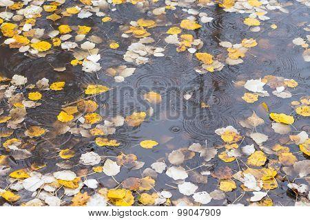 autumn birch leaf on the water
