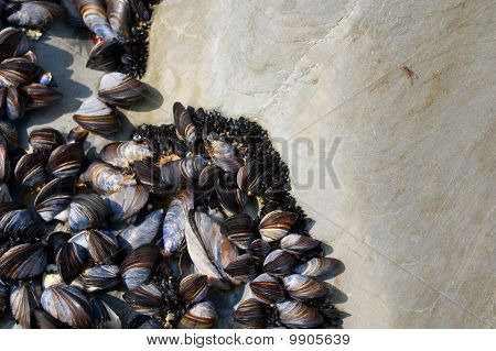 A Small Fly And Mussles On A Rock