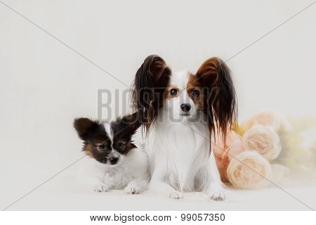 Two Papillon Dogs Mother And Her Puppy In Front Of A White Background