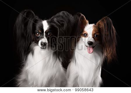 Two Dogs Of Breed Papillon On A Black Background