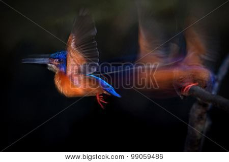 Blue-eared Kingfisher Flying