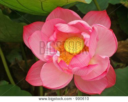 Lotus Flower Ueno Park Tokyo