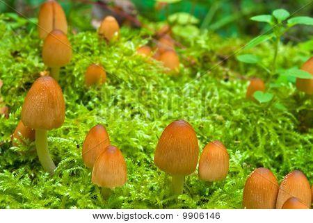 Shiny Cap Mushrooms