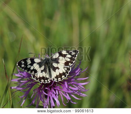 Marbled White Butterfly ( Melanargia galathea)