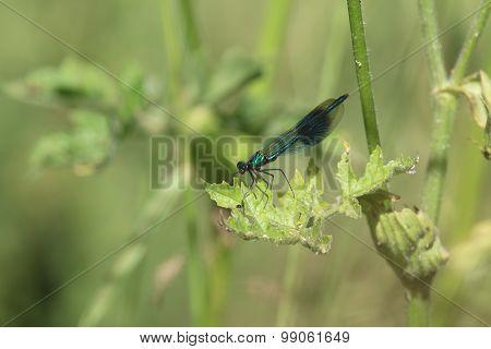 Female Banded Damoiselle Damselfly (Calopteryx splendens)