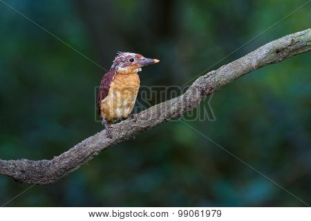 Ruddy Kingfisher Juvenile