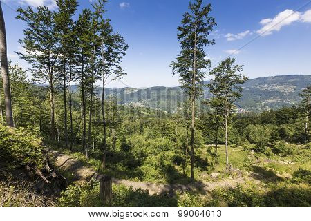 Mountain Landscape From Skrzyczne. Hillside Covered With Pine Trees And Tree Stumps In The Green Val