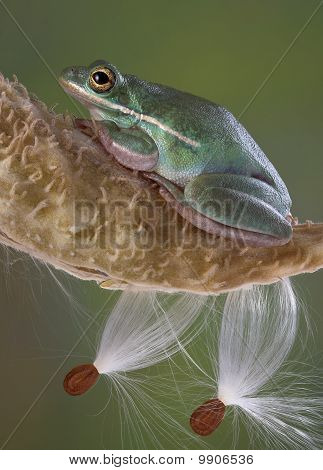 Green Tree Frog On Milkweed Pod