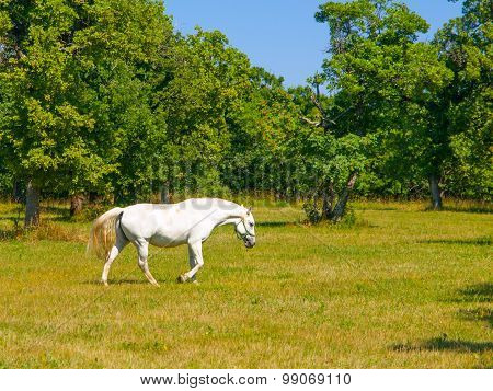 Walking Lipizzaner stallion