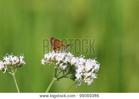 Large Skipper Butterfly (Ochlodes venata)