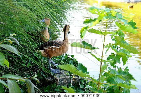 Redhead Whistling Duck, red wood duck