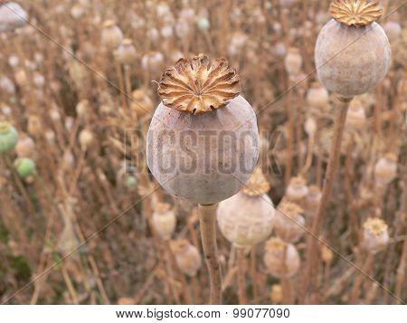 Poppyhead