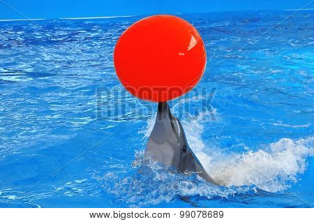 Bottlenose Dolphin In Blue Water With Red Ball